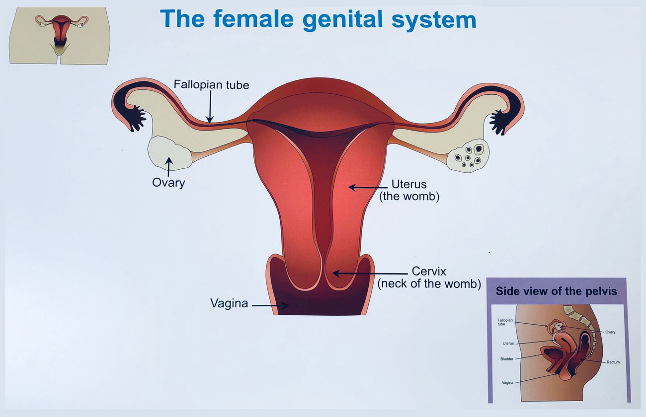 the femaile genital system